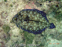 Rainbow flounder in Negril Jamaica. by Allen Weaver 